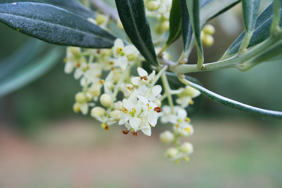 frantoio-umbria-olive-oil-torgiano